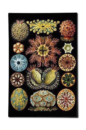Lantern Press Art Forms of Nature - Ascidiae - Ernst Haeckel Artwork 12x18 Premium Acrylic Puzzle 130 Pieces